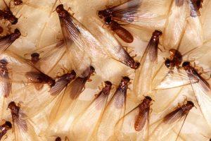 Termites © Scott Bauer